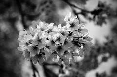 IMGP6913-2 (Amad) Tags: flower japan spring   sakura kiryu