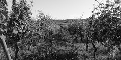 Cannubi (GavinZ) Tags: travel blackandwhite bw italy plants europe farm vine grape barolo piedmonte cannubi