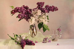 Los Milagros De Lilas (panga_ua) Tags: pink light stilllife white art water glass composition canon spectacular lights artwork soft purple artistic availablelight pastel branches clusters ukraine poetic creation lilac fabric transparency refraction fragrant imagination natalie delicate twigs neruda arrangement tenderness tabletop wonders lilacs gauze fragrance bodegon naturemorte crystalball lilas panga artisticphotography rivne naturamorta artphotography coffeespoon sharpfocus glasscup woodentabletop lilacshades glasstumbler whitetabletop  nataliepanga pastelsbackground losmilagrosdelilas wondersoflilacs ydndeestnlaslilas