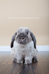Clyde (mrsm_jones) Tags: pet white rabbit bunny canon studio lens photography eos 50mm prime grey clyde jones purple turtle dwarf bees alien gray michelle fluffy australia indoor bee perth western stare wa mk2 5d mkii lop hopwood b400 b800 5d2 5dmkii 5dmk2