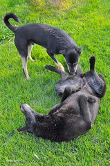 Two Black Dogs Playing ([visual media]) Tags: brazil two playing black green dogs southamerica up grass vertical brasil outdoors back mutt nikon play floor saopaulo legs tail nopeople together german both playful submission hind shepard smelling submissive mairinque