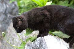older black (w. a few gray hairs) male feral cat in Morningside Park (hshuldman) Tags: new york nyc morning wild urban west eye abandoned nature amsterdam animal cat canon photography rebel drive eyes kitten feline bokeh harlem manhattan side broadway parks harry kitty upper domestic telephoto purr stray meow greater 75300mm dslr morningside catseye uws feralcat feral felis hiss t3i catseyes telefoto nycparks carnivora felidae nycpark caturday shuldman hshuldman harryshuldman