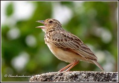3147 - paddy field pipit (chandrasekaran a 546k + views .Thanks to visits) Tags: india nature birds canon chennai paddyfieldpipit powershotsx40hs