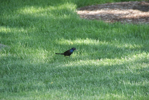 Common Grackle - Missouri by SpeedyJR