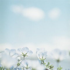 *blue world (fangchun15) Tags: 120 6x6 film japan kodak hasselblad nemophila portra160