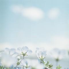*blue world (fangchun15) Tags: 120 6x6 film japan kodak hasselblad nemophila portra160 ネモフィラ