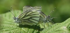 making caterpillars (Johnson Cameraface) Tags: macro june butterfly 50mm spring olympus mating f2 zuiko greenveinedwhite zd 2013 e620 johnsoncameraface