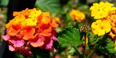 Lantana flowers, Charleston historic district (Martin LaBar (going on hiatus)) Tags: flowers flower southcarolina charleston bloom blooms lantana verbenaceae