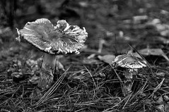 Mushrooms (nicpic) Tags: school blackandwhite plants plant mushroom mushrooms perkins perkinsschoolfortheblind