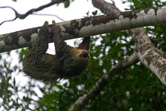 Sloth! (anveo) Tags: costarica alajuela lafortuna