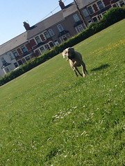 Bella (Silcoxski) Tags: dog pet field animal wales weimaraner bella weim pontnewydd cwmbrn