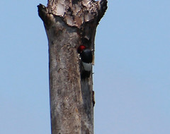2013 06 12_4566_red-headed woodpecker (nbc_2011) Tags: bird nature woodpecker florida animalplanet planetearth redheadedwoodpecker melanerpeserythrocephalus