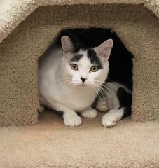 Domino(3) (Mary022378) Tags: cats kittens naperville adopt adoptpetshelter