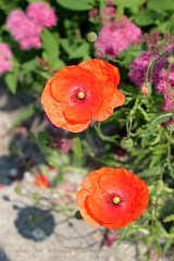 Poppies (fraeuleinfamos) Tags: flowers shadow red berlin green rot station juni tram blumen lila poppies bloom grn blte schatten puple mohn hohenschnhausen blhen mohnblumen strasenbahn