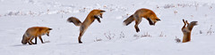 Fox in Flight (lgambon) Tags: nature animal wildlife photograph fox environment predator redfox larrygambon