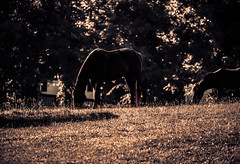 horses (huckfinn172) Tags: horses pet animal canon t4i