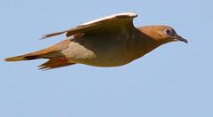 Gliding Dove (NateFischPix) Tags: sky motion bird nature animal flying inflight texas dove wildlife south flight gliding avian glide sanantionio natefischpix