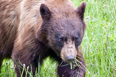 Breakfast Time (Aspenbreeze) Tags: bear woods wildlife yellowstonenationalpark yellowstone blackbear wildbear wyomingwildlife bearcloseup aspenbreeze blinkagain moonandbackphotography bevzuerlein