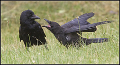 Carrion Crows - Young and Old (CliveDodd) Tags: crow carrion corvus corone
