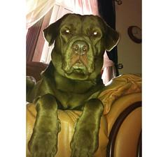 Duke - Chocolate Labrador Retriever (By Murphy) Tags: duke labradorretriever chocolatelabrador