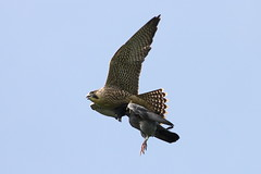 Peregrine's Hearty Breakfast (Edd Cottell) Tags: food bird nature pigeon wildlife falcon prey juvenile peregrine