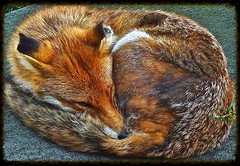 Firefox Logo! (Deepgreen2009) Tags: roof sleeping red dog animal garden logo mammal firefox friend sleep framed wildlife tail watching shed fox snooze british curled resting