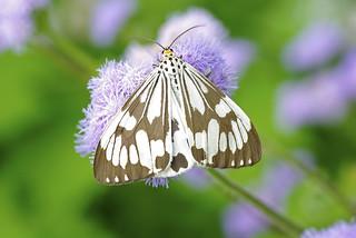 Moth-Nyctemera adversata 粉蝶燈蛾