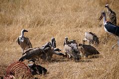 DSC04989 (H Sinica) Tags: safari vulture masaimara maasaimara