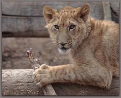 African Lion Cub (ctofcsco) Tags: usa playing nature animal animals america cat canon eos zoo cub is kitten feline colorado unitedstates mark african wildlife 4 lion young denver explore telephoto 1d co stare northamerica stick usm iv eos1d 70200mm ef70200mm mark4 f28l ef70200mmf28lisusm 1div eos1dmarkiv