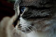 Jimmy (GiB) Tags: portrait pet nature animal cat nikon blueeyes country jimmy natura whiskers campagna felini sweetness gatto ritratto animalplanet animali occhiblu  tenerezza animalidacompagnia d5000