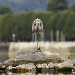 Dritto negli occhi (_milo_) Tags: italy lake bird canon lago eos italia lac ardeacinerea maggiore tamron oiseau uccello birdwatcher oasi 70300 angera 60d aironecenerino bruschera