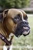 Me voy a la cama (Paco Jareño Zafra) Tags: dog pet cara perro boxer paco mascota diente oreja 2014 mandibula expresión expresion jareño colmillo pacosrulz