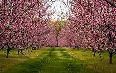 Peach Orchard in Bloom-0625 (RG Rutkay) Tags: trip flowers ontario rural spring peach orchard niagara bloom niagaraonthelake peachblossoms fruittrees cr87