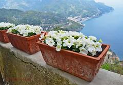 Villa Rufolo Gardens - planters and petunias 1