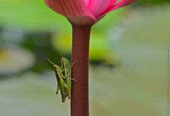 """EARTH DAY 2015"" (GOPAN G. NAIR [ GOPS Creativ ]) Tags: world love nature photography day lotus earth mating grasshopper mate gops gopan gopsorg gopangnair gopsphotography"
