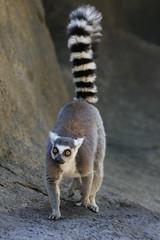 234A9877.jpg (Mark Dumont) Tags: animals mammal zoo mark cincinnati lemur dumont explored