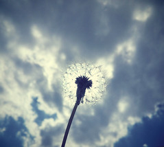 Dandelion puffs away, make my wish come true someday (σℓγα ƸӜƷ) Tags: sky flower beautiful cloudy spirit puff blow dandelion moment springtime makeawish