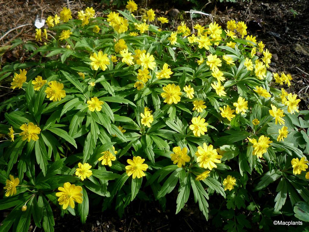 Anemone ranunculoides 'Semi-Plena'