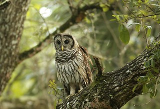 Barred Owl (Strix varia) BADO -