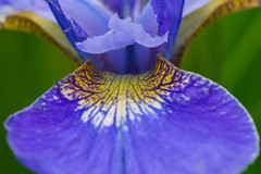 Open up and say 'ah' (jeff's pixels) Tags: blue iris flower macro nature nikon purple d610