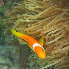 Maldivian Clownfish (jezzieg) Tags: sea fish underwater clown clownfish anemone tropical maldives baa atoll soneva maldivian fushi