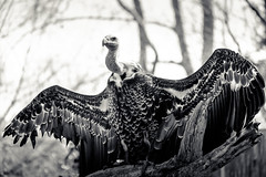 don't stick your neck out for me (Port View) Tags: fujixe2 washington dc usa us 2016 smithsoniannationalzoologicalpark zoo nationalzoo vulture ruppellsgriffonvulture endangered species bird prey monochrome mono blackandwhite bw