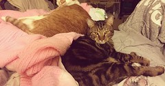 My boys. Oliver (left) and Vincent (right). via http://ift.tt/29KELz0 (dozhub) Tags: cat kitty kitten cute funny aww adorable cats