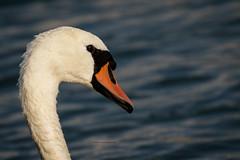 Mute Swan (rickdunlap2) Tags: muteswan bird animal wildlife rotterdam netherlands travel