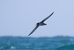 Sooty Shearwater #6 (scilly puffin) Tags: sootyshearwater sapphirepelagics islesofscilly october