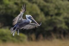 Brown pelican (Pelecanus occidentalis) (gary1844) Tags: