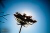 Time stopped (Oddiseis) Tags: formentera balearicislands spain lamola light colors contrast silhouette backlighting plants flora flowers island ithaké blue flash sunshine