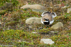 Chorlitejo grande (Charadrius hiaticula) Common Ringed Plover (Corriplaya) Tags: aves birds corriplaya svalbard chorlitejogrande charadriushiaticula commonringedplover