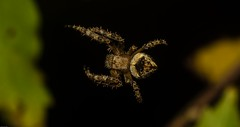 young 'Eriophora' (dustaway) Tags: arthropoda arachnida araneae araneomorphae araneidae araneinae orbweaver eriophora lismore nsw northernrivers australia australianspiders nature spinne