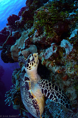 I want that piece...that one right there. (jcl8888) Tags: turtle sea ocean nikon d7100 tokina 1017mm critter coral reef cozumel mexico diving scuba adventure travel yucatan saltwater